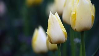Цветение тюльпанов в Никитском ботсаду