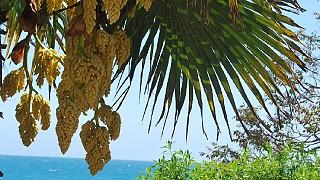 Цветение пальм на Южном берегу Крыма
