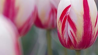 В Никитском ботсаду расцвели тюльпаны