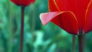 Май. Цветут тюльпаны