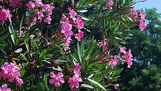 На ЮБК цветет олеандр