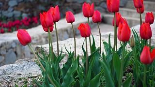 В Никитском ботсаду цветут тюльпаны