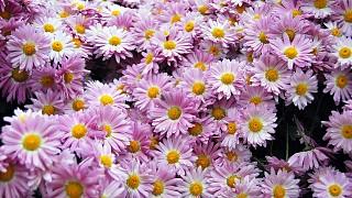 На балу хризантем в Никитском ботаническом саду