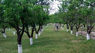 Черешневый сад. Ослиная ферма в селе Залесное