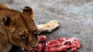 Обед хищника