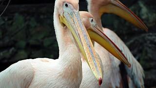 Посетителей зоопарка встречают красавцы-пеликаны