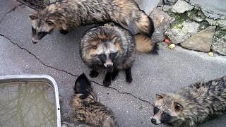Семейство енотовидных собак