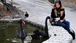 Черный лебедь на пруду...