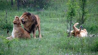 Львиные страсти