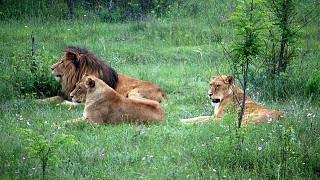 Лев со своими подругами