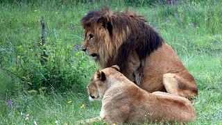 Лев со своей подругой