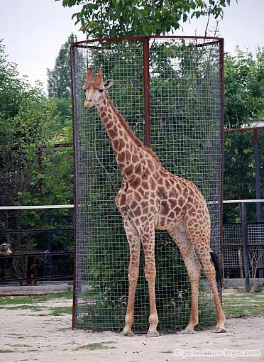 Красавец жираф