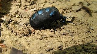 """Упитанный жучок вида """"майка фиолетовая"""" (meloe violaceus)"""