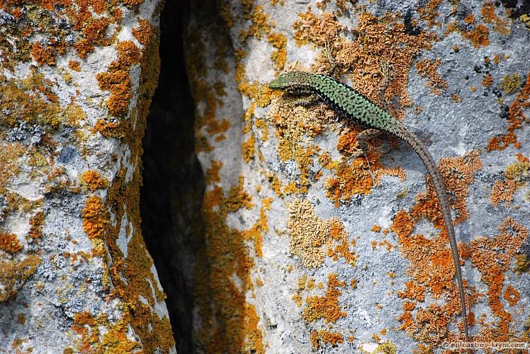 Ящерица из пещерного города Тепе-Кермен
