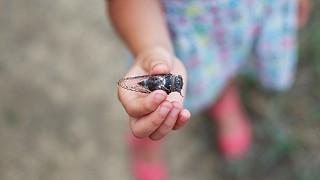 Так выглядит цикада