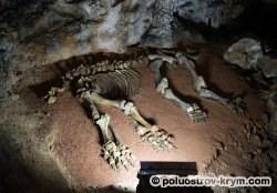 Скелет мамонтенка, найденного в пещере. Фото Ольги Иутиной