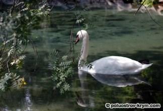 Обитатель Лебединого озера. Нижний парк. Алупка. Фото Ольги Иутиной