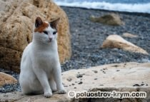 Монастырская кошка на Яшмовом пляже. Мыс Фиолент. Автор фото Ольга Иутина