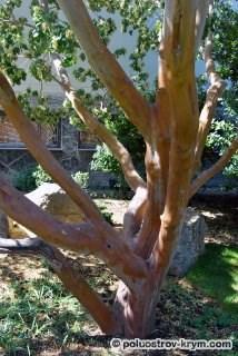 Земляничник мелкоплодный в мае. Парк